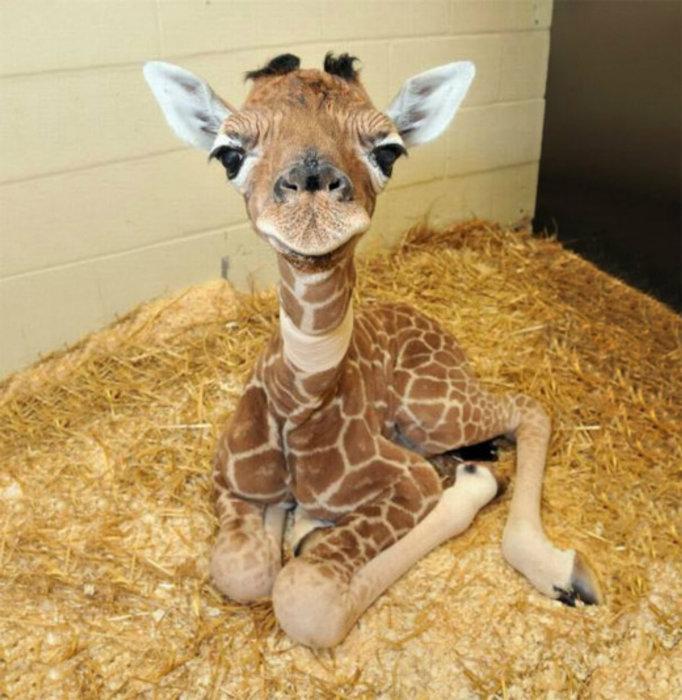 Большеглазый милый жирафёнок.