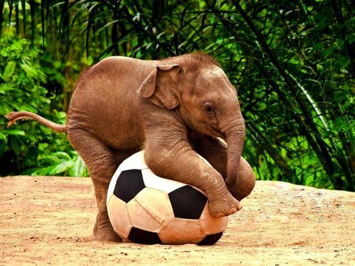 Играющий с мячом слонёнок.