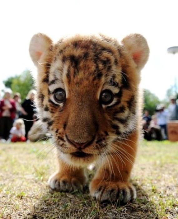 Добродушный и еще совсем не опасный тигренок.