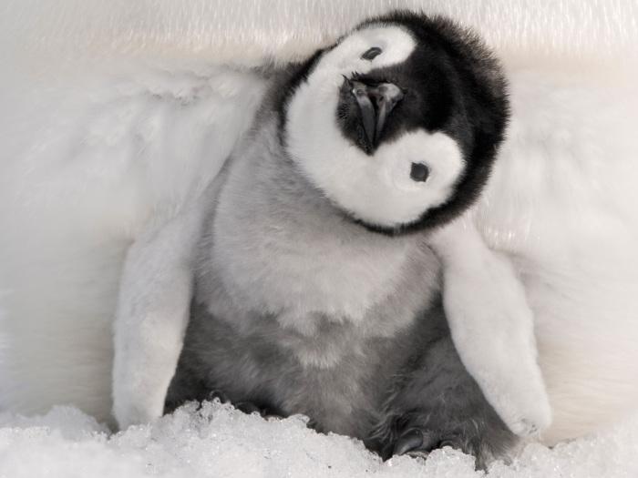 Милый черно-белый пингвинёнок.