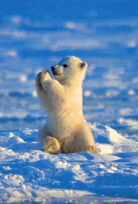 Белый медвежонок сидит, сложив перед собой лапки.