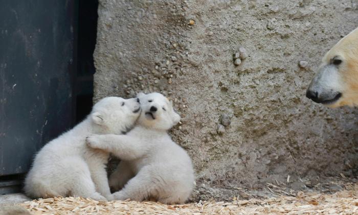 Парочка милых белых медвежат играется.