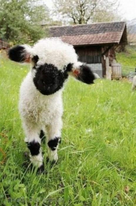 Маленький барашек в траве.