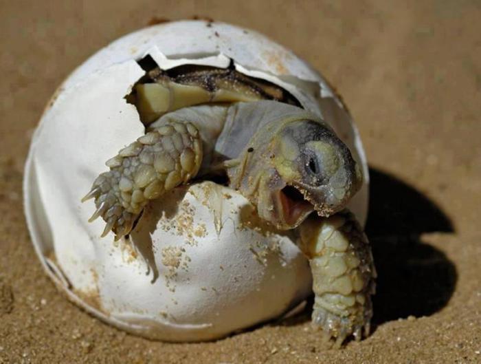 Процесс рождения черепашки.