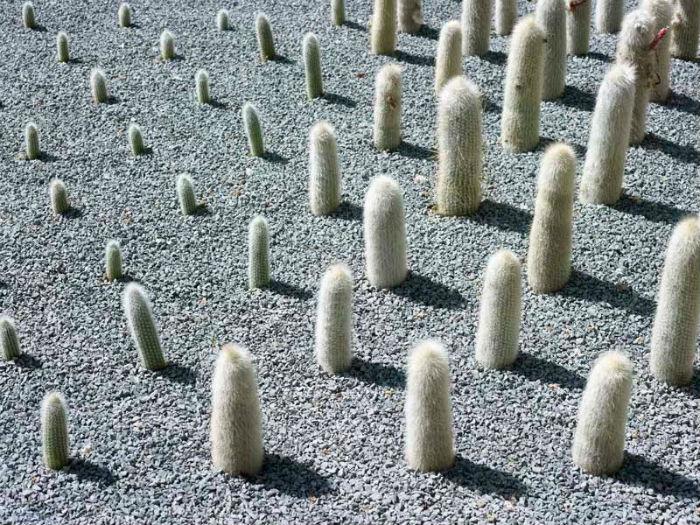 Анук Фогель представила проект «Cacticity»(«Город кактусов») – сад-инсталляцию из девятисот кактусов одного вида