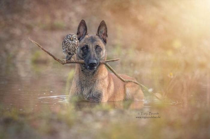 Победила дружба: трогательный фотоцикл о взаимоотношениях совы и собаки