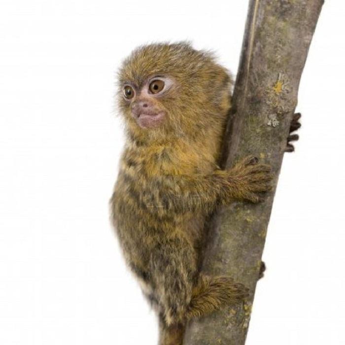 Самая маленькая обезьянка в мире