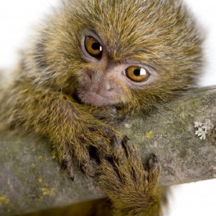 Самая маленькая обезьяна в мире
