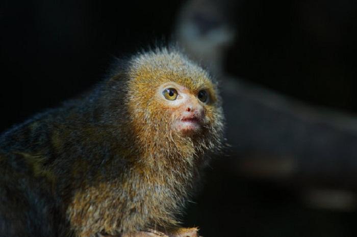 Cebuella pygmaea: удивительная обезьянка