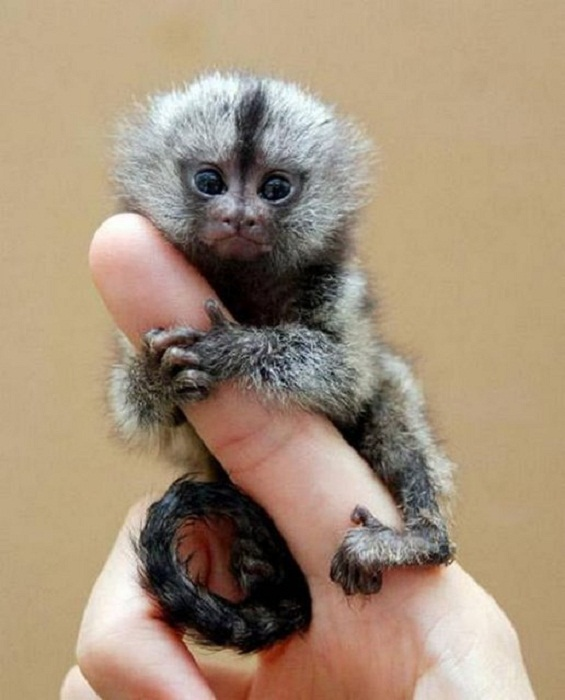 Крошечная обезьянка