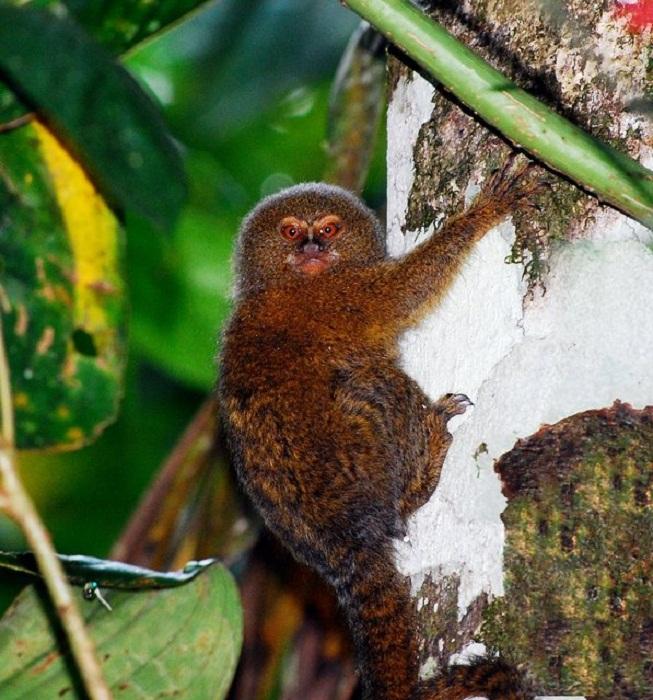 Cebuella pygmaea: самая маленькая обезьянка в мире