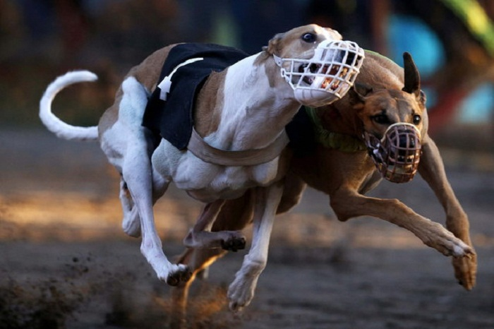 Собачьи бега.