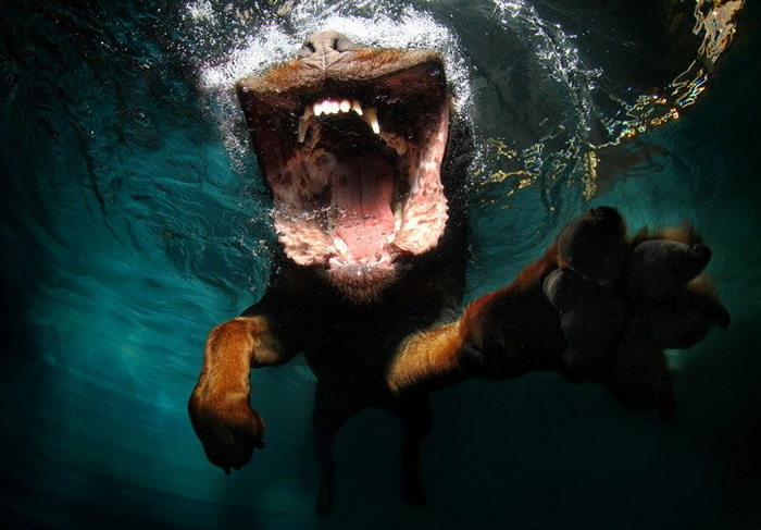 Снимки собак под водой: Underwater Dogs