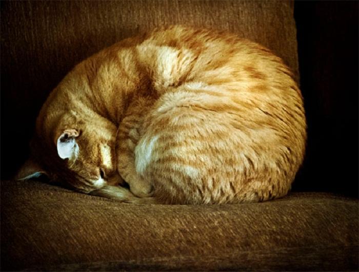 Кот, свернувшийся клубочком