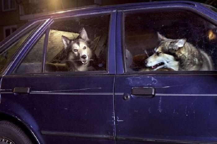 Собаки в автомобиле.