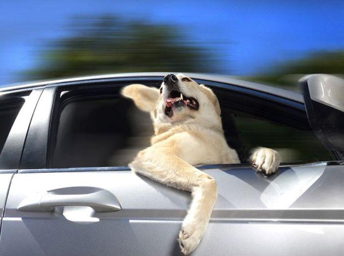 Собаки в движущемся автомобиле