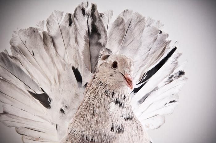 Darwin's Pigeons.