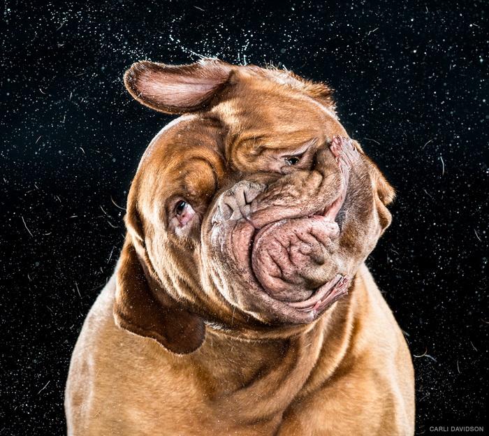 Серия фотографий собак Carli Davidson
