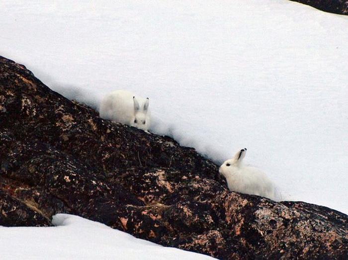 Arctic Hare: коллекция фотографий забавного полярного кролика
