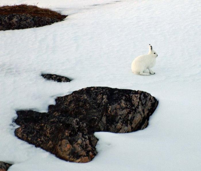 Коллекция фотографий Arctic Hare