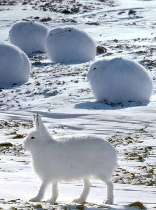 Морозоустойчивый Arctic Hare