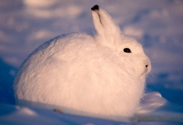 Знаменитый Arctic Hare