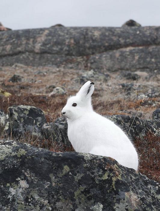 Полярный кролик