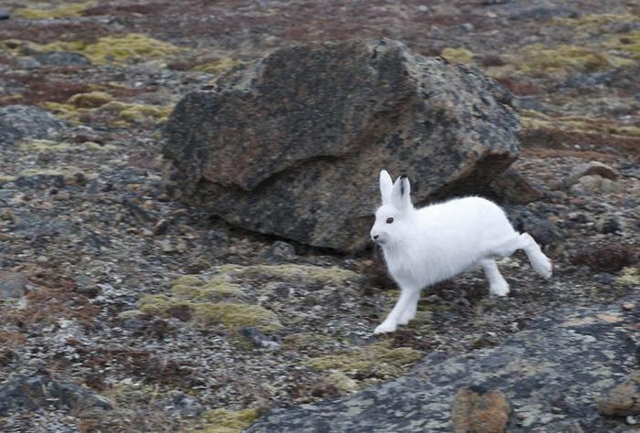 Белый Arctic Hare