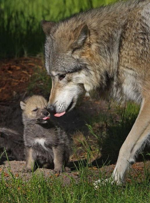 Отцы и дети в животном мире.