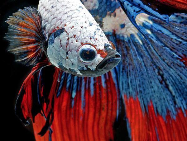Bettas: сиамские боевые рыбы