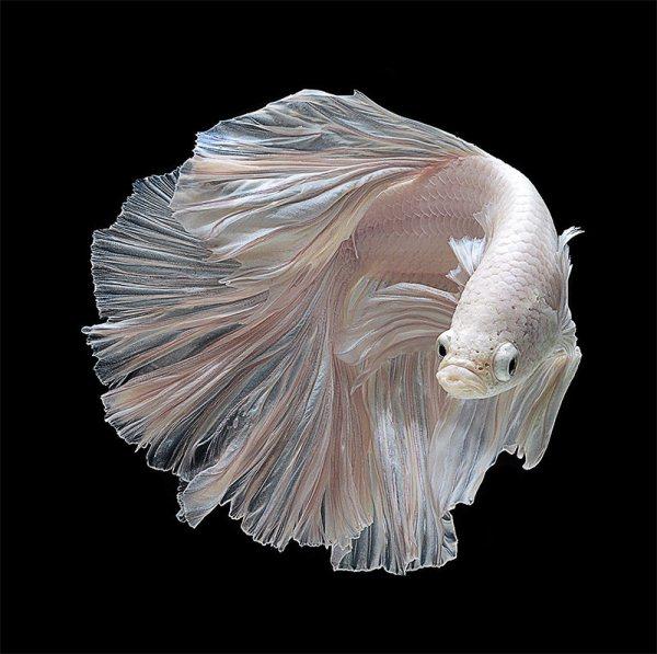 Сиамские боевые рыбы Bettas