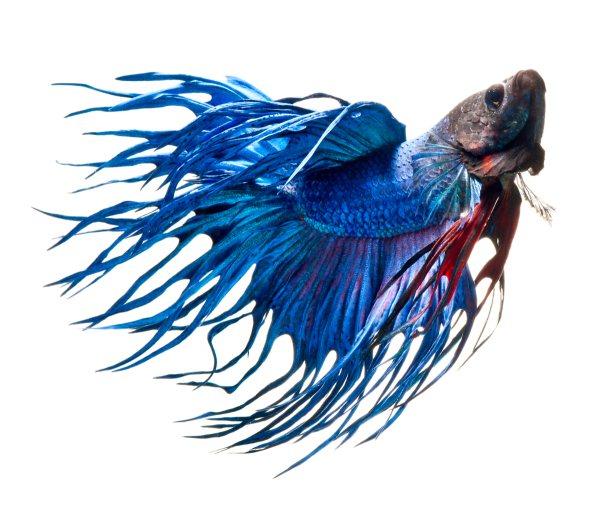 Bettas: сиамские боевые рыбы на фотографиях Visarute Angkatavanich