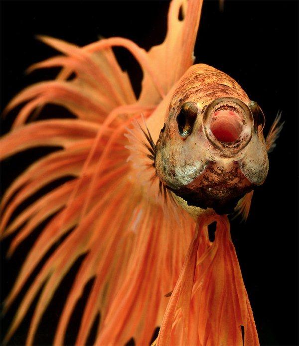 Рыбы Bettas