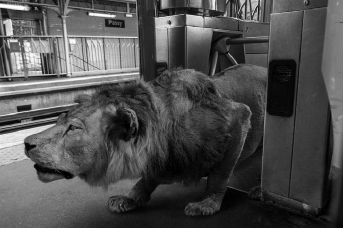 Лев в метро.
