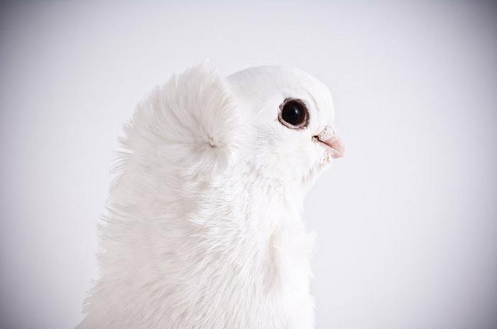 Голуби в фотосессии Darwin's Pigeons.