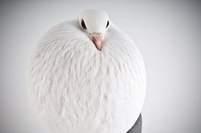 Необычные голуби.