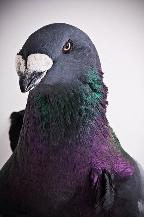 Необычные птицы в Darwin's Pigeons.
