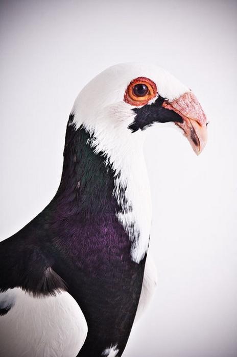 Darwin's Pigeons от Richard Bailey.