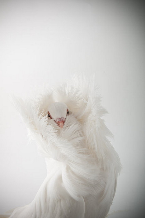 Darwin's Pigeons: голуби в фотосессии Richard Bailey.