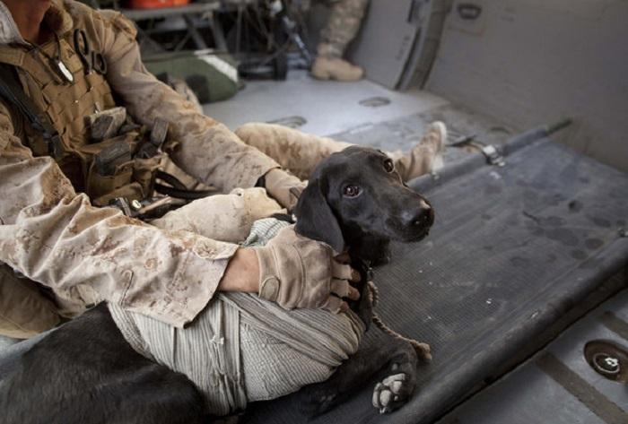 Раненая собака.
