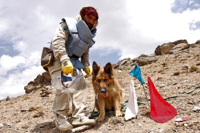 Собака ищет мины.