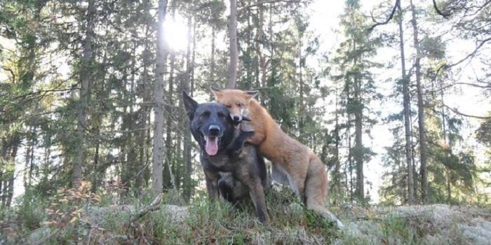 Дружба собаки и лисицы: трогательные фотографии.