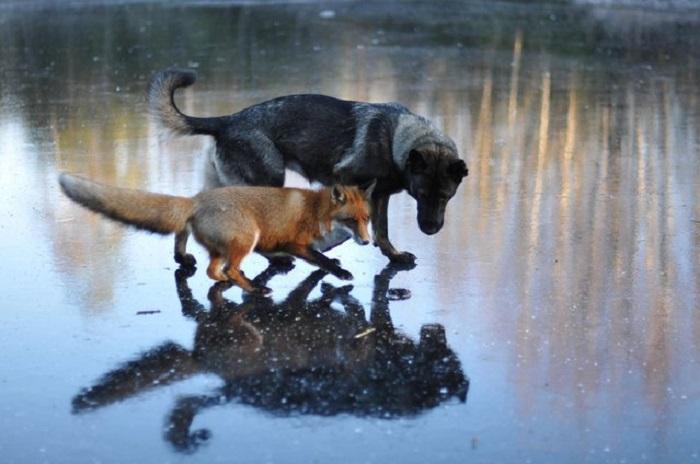 Дружба собаки и лисицы.