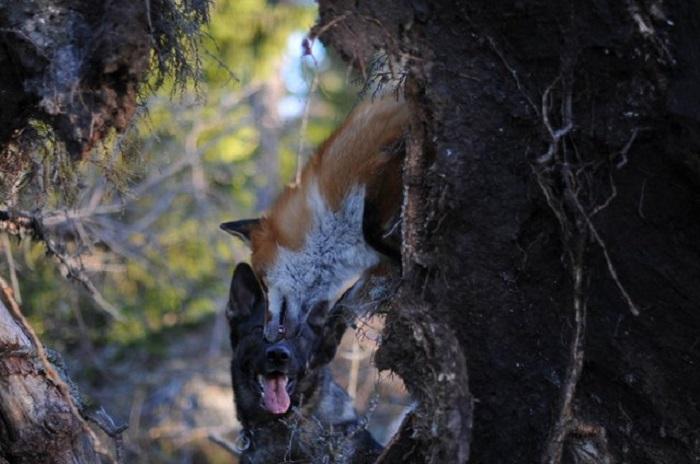 Собака и лиса.