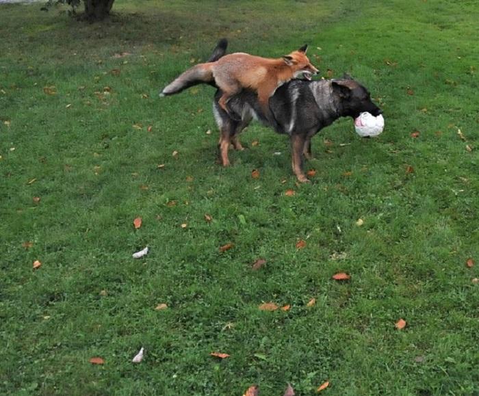 Лиса и собака.