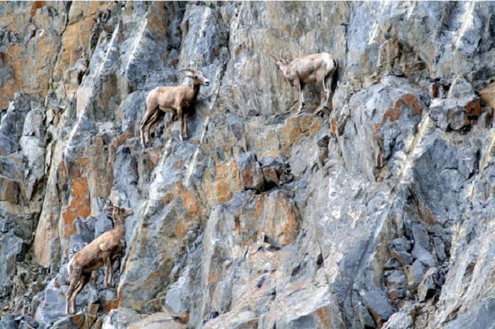 Козы в горах.