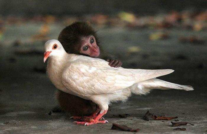 Обезьянка и голубь: необычная дружбва