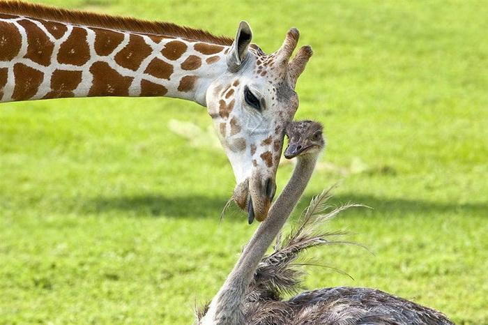 Дружба страуса с жирафом