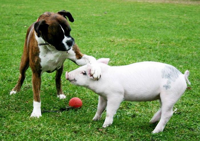 Собака и свинья: необычная дружба