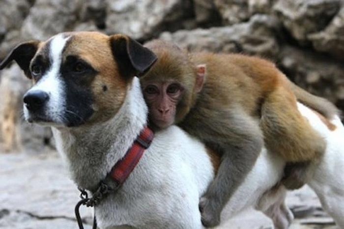 Собака и обезьяна: битый небитого везет